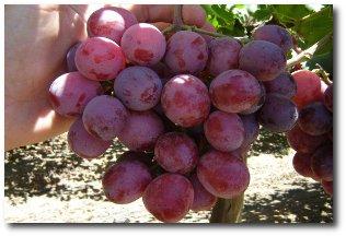 Red globe üzüm çeşidi