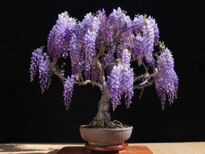 mor salkým bonsai